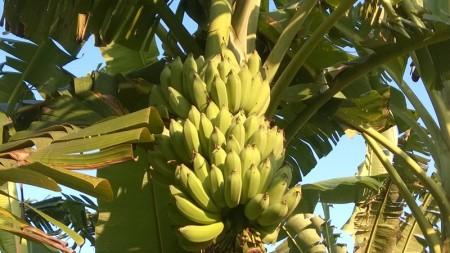 ขายกล้วยอินทรีย์