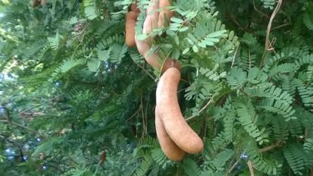 ฝักมะขามหวาน