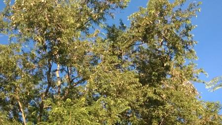 มะขามต้นใหญ่