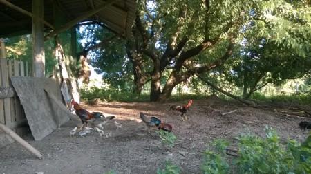 เลี้ยงไก่ใต้ต้นมะขาม