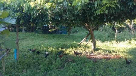 เลี้ยงไก่ในสวนลำไย
