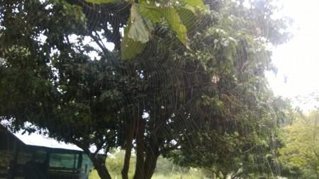 แมงมุมในสวนลำไย