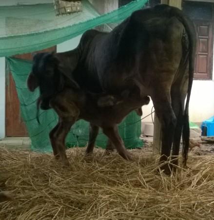 วัวกินนม