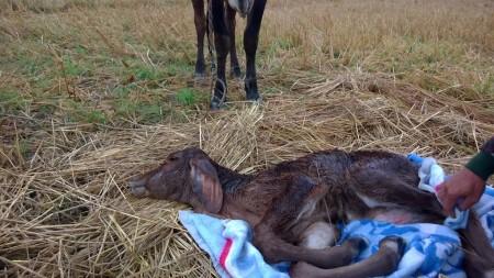วัวแรกเกิด