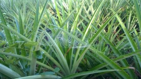แมงมุมขักใย